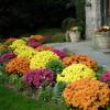 Hrizanteme – najlepši jesenji ukras bašte