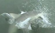 Devojka umesto ribe upecala ajkulu! (video)